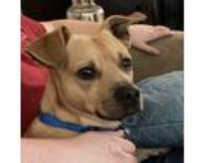 Adopt Bruiser a Beagle, Terrier