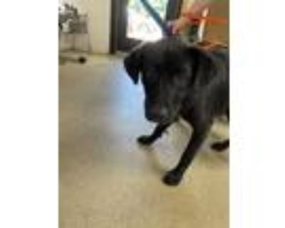 Adopt 48038518 a Black Retriever (Unknown Type) / Mixed dog in Fort Worth