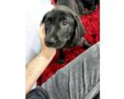 Adopt Baroness a Labrador Retriever, Mixed Breed