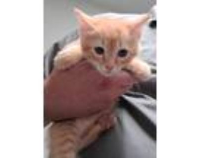 Adopt TINKY a Domestic Short Hair