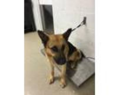 Adopt 47999183 a Brown/Chocolate German Pinscher / Mixed dog in Fort Worth