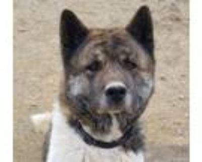 Adopt Ruger a Brindle - with White Akita / Mixed dog in Santa Clarita
