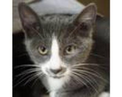 Adopt Betty -$50 a American Shorthair, Domestic Short Hair