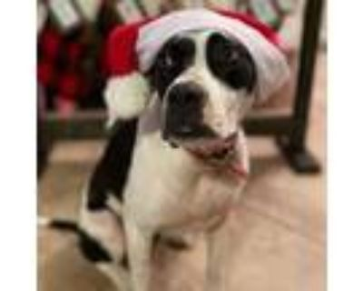 Adopt Tulla SV a Black American Pit Bull Terrier / Boxer / Mixed dog in