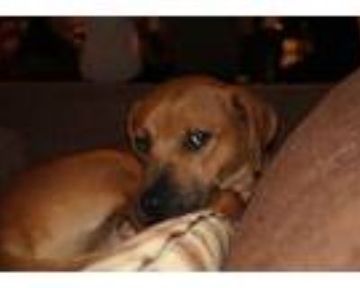 Adopt Tubby a Brindle - with White Rhodesian Ridgeback / Hound (Unknown Type) /