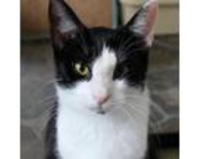 Adopt Wrinkles a Domestic Short Hair