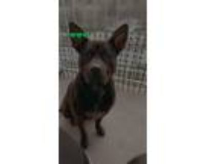 Adopt Kali a Black - with White American Pit Bull Terrier / Terrier (Unknown
