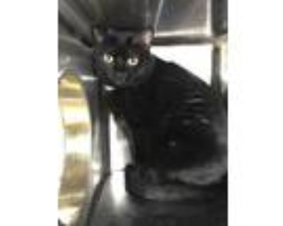 Adopt Eggnog a All Black Domestic Shorthair / Domestic Shorthair / Mixed cat in