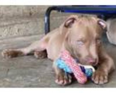 Adopt Ziggy a American Staffordshire Terrier, Pit Bull Terrier