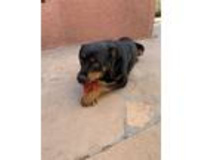 Adopt Bear a Black - with Tan, Yellow or Fawn Rottweiler / Mixed dog in Gilbert
