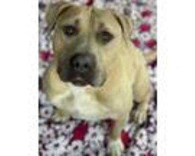 Adopt Marigold a Pit Bull Terrier, American Staffordshire Terrier