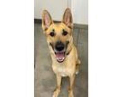 Adopt AXLE a Tan/Yellow/Fawn Belgian Malinois / Mixed dog in Tucson