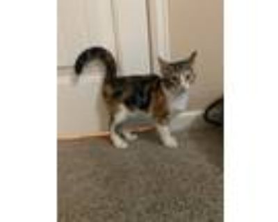 Adopt Guinevere a Domestic Shorthair cat in Denver, CO (32114888)