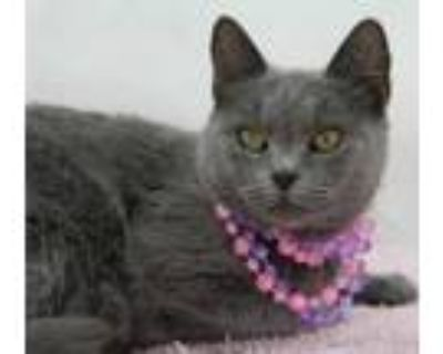 Adopt Little Grey ($10 Adoption Fee) (Main Campus) a Gray or Blue Domestic