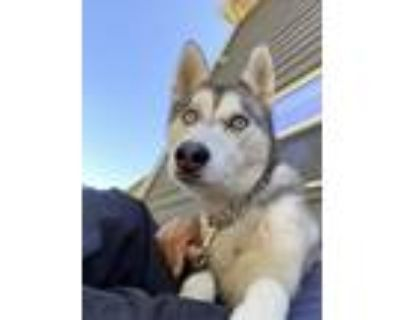 Adopt Snow a White - with Gray or Silver Husky / Mixed dog in Cumming