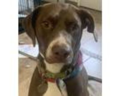 Adopt Willow a Brown/Chocolate - with White Doberman Pinscher / American Pit