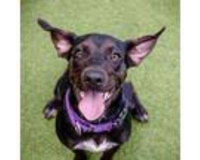 Adopt Darcy a Hound (Unknown Type) / Mixed dog in St. Petersburg, FL (32033107)