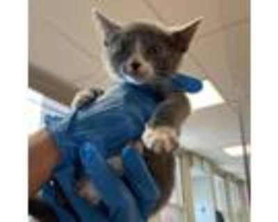 Adopt Headlight a Gray or Blue Domestic Shorthair / Mixed cat in Philadelphia