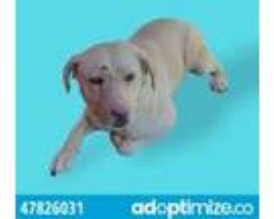 Adopt 47826031 a White Labrador Retriever / Mixed dog in El Paso, TX (31526085)
