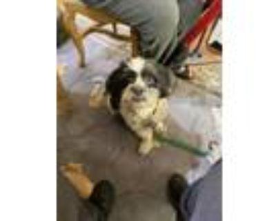 Adopt Sammy a Black Shih Tzu / Tibetan Terrier / Mixed dog in Oak Creek