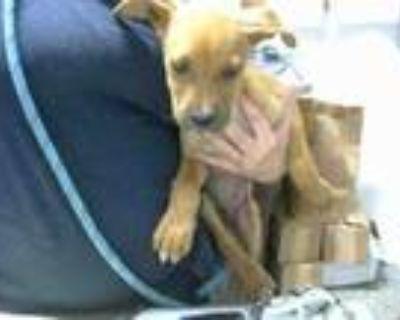 Adopt TUGG a Beagle, Mixed Breed