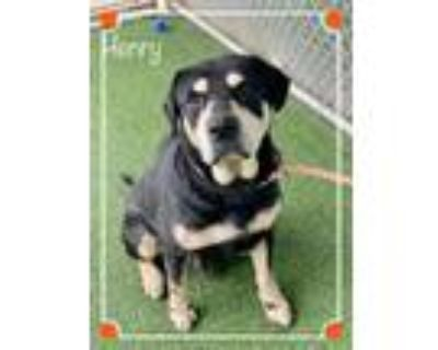 Adopt HENRY a Tricolor (Tan/Brown & Black & White) Hound (Unknown Type) / Mixed