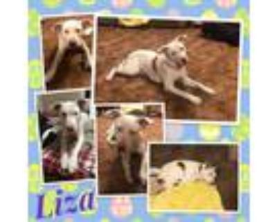 Adopt Liza a White - with Red, Golden, Orange or Chestnut Border Collie /