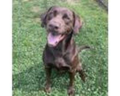 Adopt Ajax a Chocolate Labrador Retriever