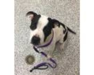 Adopt Java a Pit Bull Terrier
