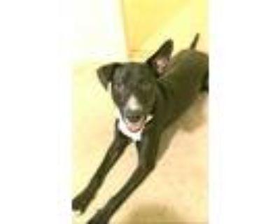 Prince, Labrador Retriever For Adoption In Jessup, Maryland