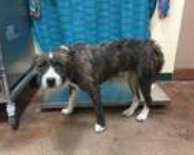 Adopt Dog a Brindle - with White Terrier (Unknown Type, Medium) / Mixed dog in