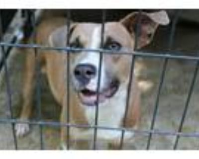 Adopt Adalie a Tan/Yellow/Fawn - with White American Pit Bull Terrier / Labrador