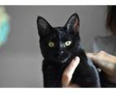 Kiki, Domestic Shorthair For Adoption In Denver, Colorado