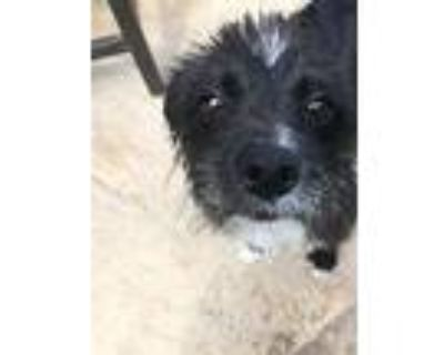 Pringles, Terrier (unknown Type, Small) For Adoption In Westminster, Colorado