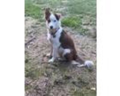 Adopt Fly a Border Collie