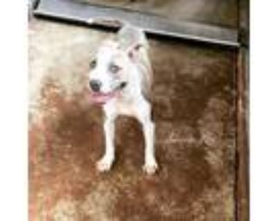 Adopt CALYPSO a Pit Bull Terrier