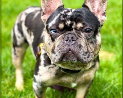 French Bulldog Akc Merle For Stud