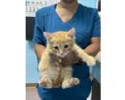 Adopt Keenan a Orange or Red Domestic Shorthair / Domestic Shorthair / Mixed cat