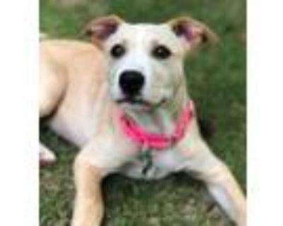 Adopt Rebekah a Labrador Retriever