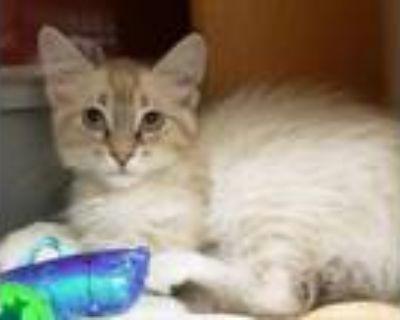 Coco, Siamese For Adoption In Phoenix, Arizona