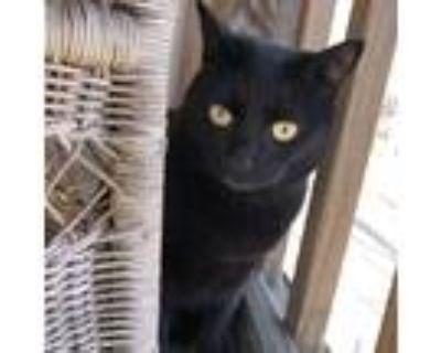 Adopt Jerri a All Black Domestic Shorthair (short coat) cat in CHESAPEAKE