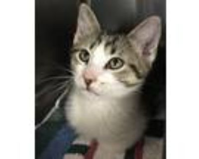 Adopt BamBam a Gray, Blue or Silver Tabby Domestic Shorthair (short coat) cat in
