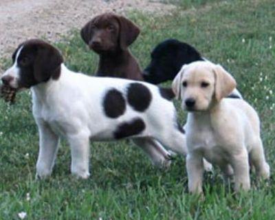 Labrador Retriever: Hybrid Retriever Puppies!