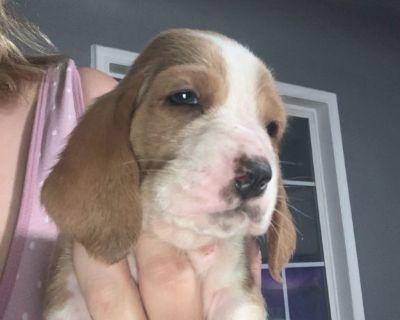 Basset hound pups