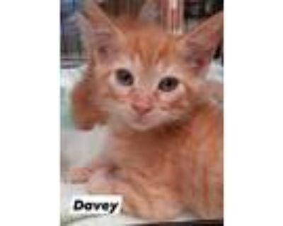 Adopt Davey a Domestic Short Hair