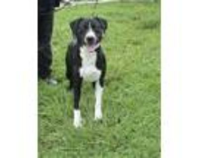 Adopt BUD a Black - with White Labrador Retriever / Mixed dog in St.