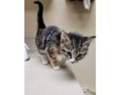Adopt Biscuit a Brown or Chocolate Domestic Shorthair / Domestic Shorthair /