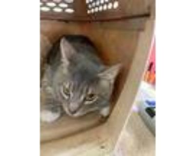 Adopt BOY a Gray, Blue or Silver Tabby Domestic Shorthair / Mixed (short coat)