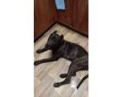 Adopt Arwyn (Ari) a Brindle Cane Corso / Mixed dog in Lyman, SC (30908711)