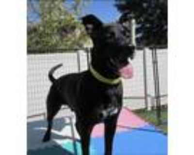 Adopt Beau a Black - with White Shepherd (Unknown Type) / Mixed dog in Denver